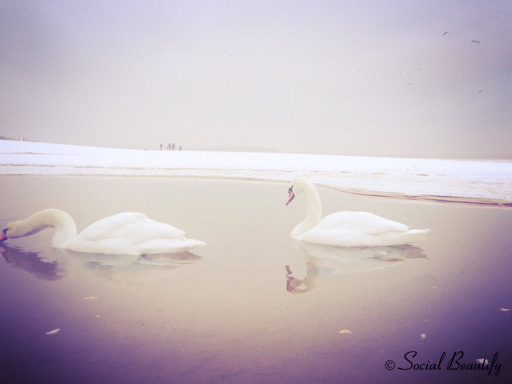 Swans by the sea side in Gdansk